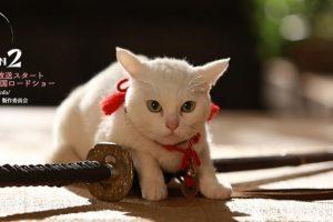 猫侍の白猫の玉之丞、実名はさくらにあなご!猫の種類は何だろう?ウインクでメロメロなんですけど。